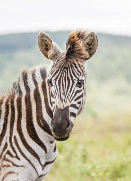 młoda zebra