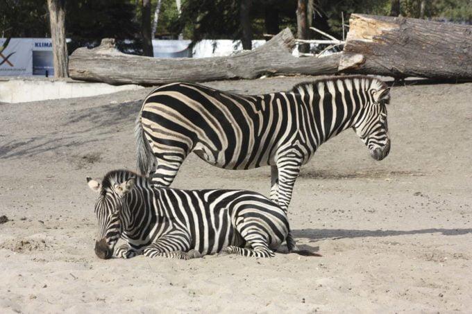 zebry w zoo