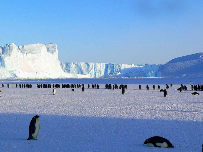 stado pingwinów