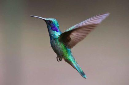 Koliber - 32 Interesujące Ciekawostki, Informacje i Fakty