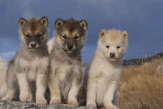 36 ciekawostek o Grenlandii dla dzieci