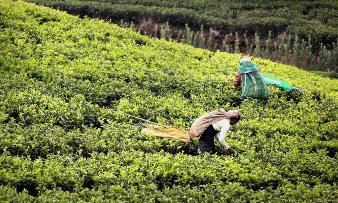 herbata zbieranie