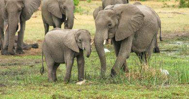 słonie w RPA