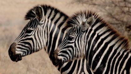 17 ciekawostek o zebrach