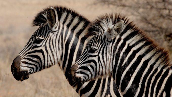 dwie zebry