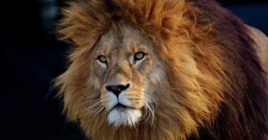 lew z Afryki