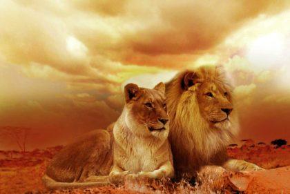 22 Ciekawostki, Fakty oraz Informacje o lwach dla Dzieci