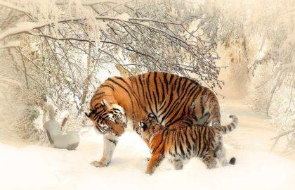 Ciekawostki, fakty oraz informacje o tygrysach