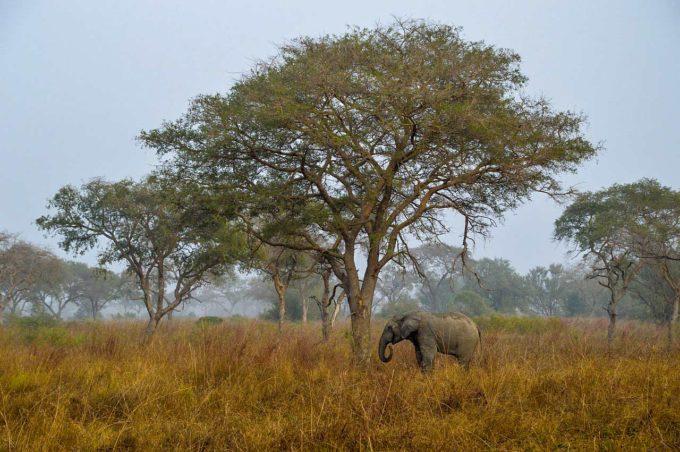 sawanna i słonie