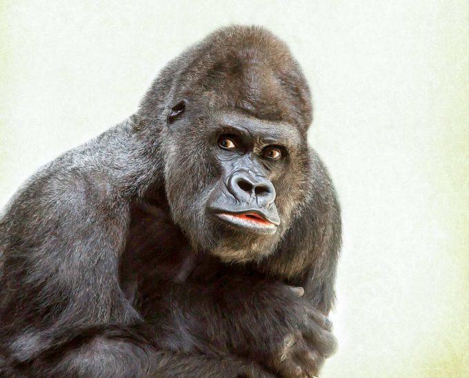 Ciekawostki oraz informacje o gorylach dla dzieci i dorosłych
