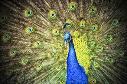 32 interesujące ciekawostki i ciekawe informacje o pawiach