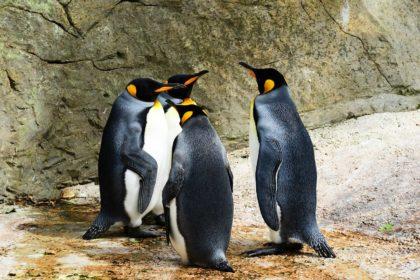 18 czarno białych ciekawostek oraz informacji o pingwinach