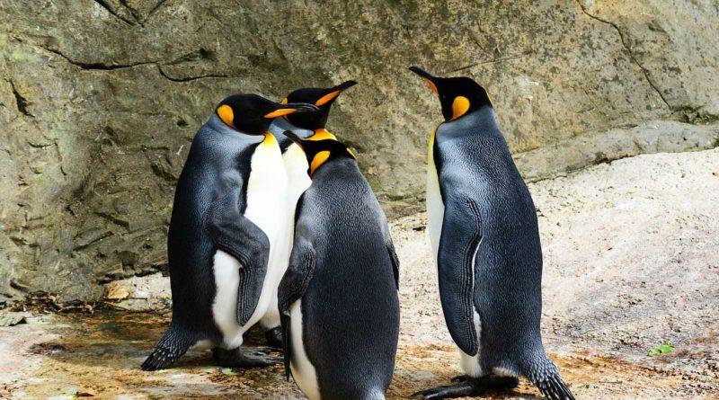 cztery pingwiny