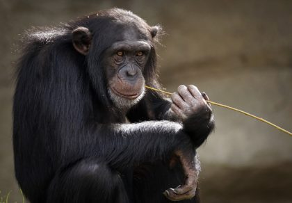 Ciekawostki oraz informacje o szympansach dla dzieci i dorosłych