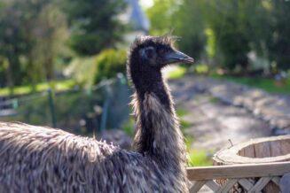 10 Fascynujących Ciekawostek o Emu Dla Dzieci