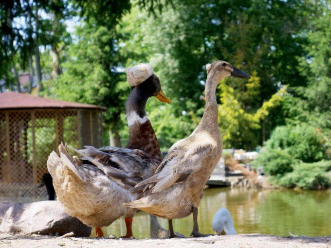 kaczki ozdobne