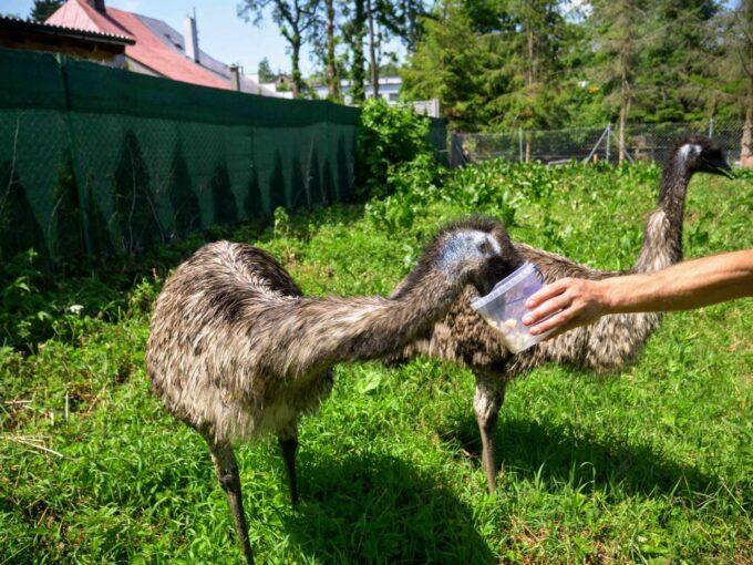 karmienie emu