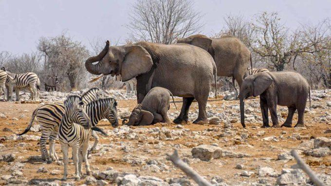 słonie i zebry