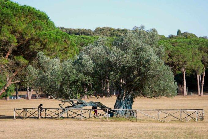 1700 letnie drzewo oliwne