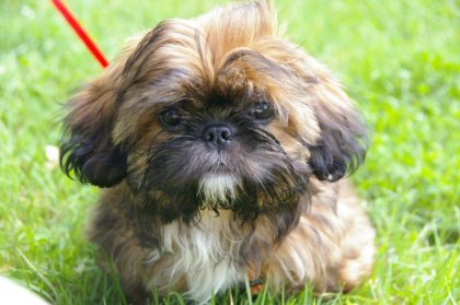 Ciekawostki i informacje o psach rasy Shih Tzu