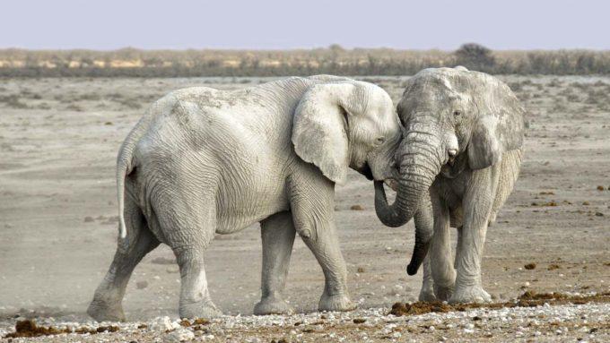 dwa słonie w Namibii