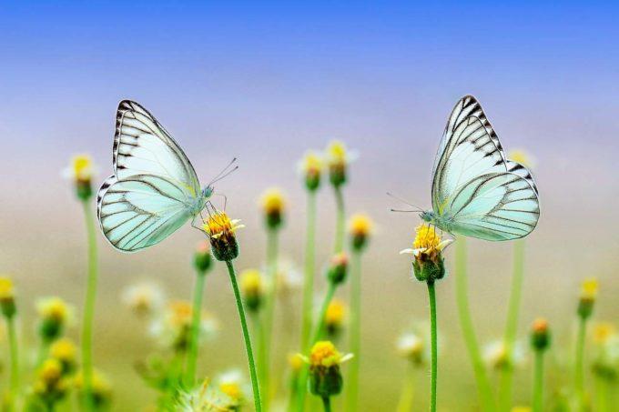 dwa motyle