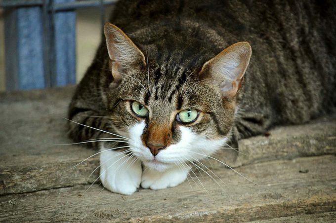 koty ciekawostki