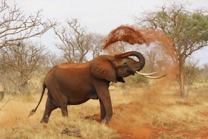 słoń sypie ziemią