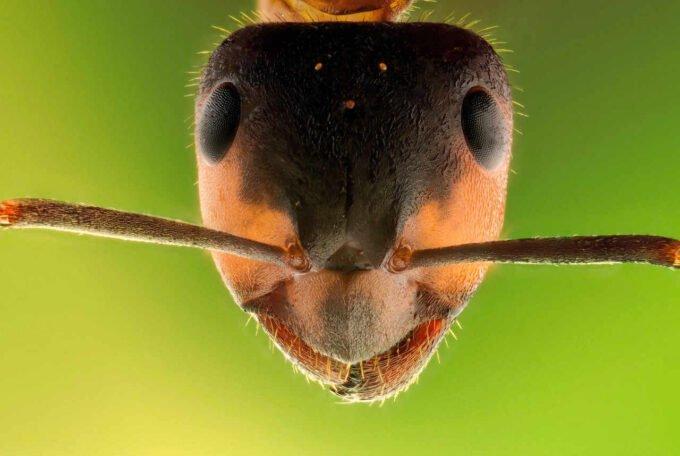 głowa owada