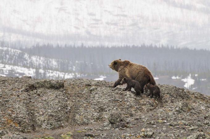 Niedźwiedzie grizzly