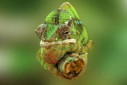 100 ciekawostek o kameleonach