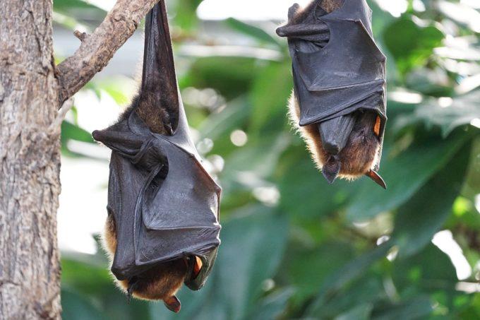 śpiące nietoperze