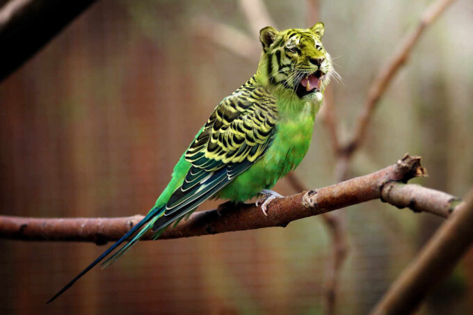 tygrys papuga