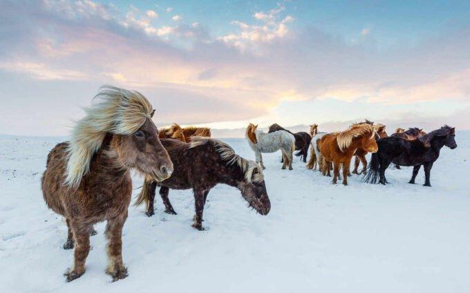 konie podczas zimy