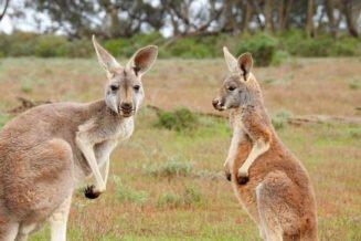 22 interesujące ciekawostki o kangurach w Australii
