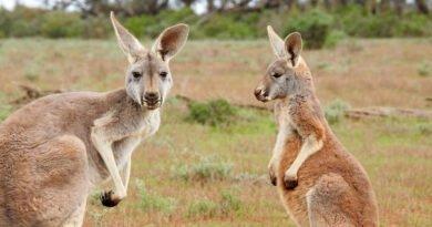 dwa kangury