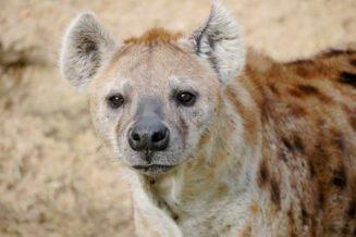 Zaskakujące Ciekawostki, Informacje i Fakty o Hienach