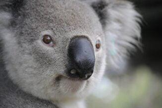 22 interesujące ciekawostki o koalach z Australii