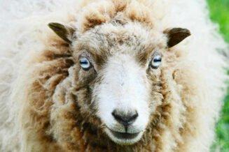 34 Interesujące Ciekawostki o Owcach