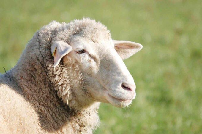 owca na łące