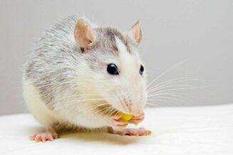 35 Fascynujących Ciekawostek o Szczurach