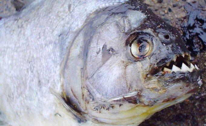 zęby ryby