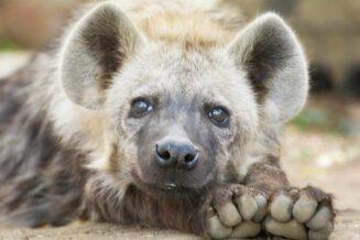 22 Zaskakujących Ciekawostek o Hienach dla dzieci