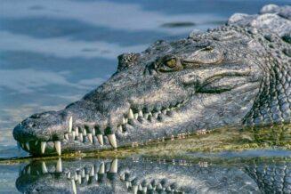 21 Zaskakujących Ciekawostek i Informacji o Aligatorach
