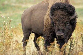 12 Interesujących Ciekawostek, Informacji i Faktów o Bizonach