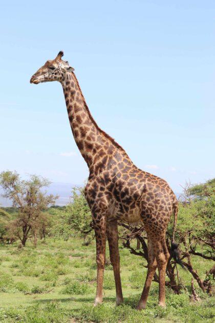 długa szyja żyrafy