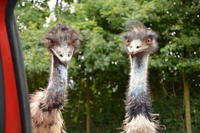 dwa emu