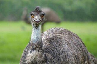 36 Zaskakujących Ciekawostek o Emu