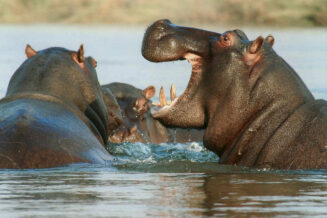 20 Wybranych Ciekawostek o hipopotamach
