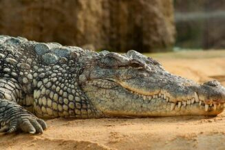 23 Ciekawostki i Ciekawe Informacje o Krokodylach